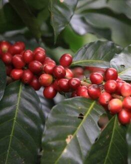 Sementes de Café Catimor